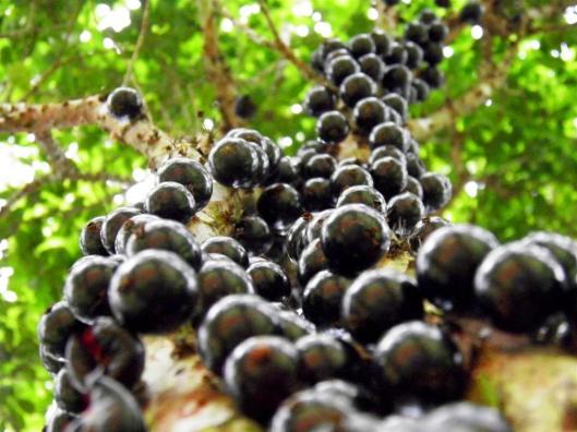 Jabuticabas / Foto: http://www.baixaki.com.br/papel-de-parede/43722-jabuticaba.htm